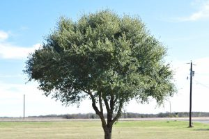 Texas live oak in Italy TX