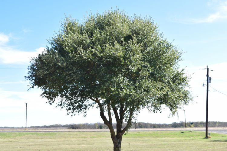 Texas live oak in Italy TX