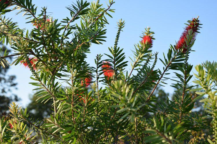 Red cluster bottlebrush